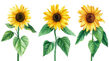 Sunflowers, Set Of Flowers On An Isolated White Background, Watercolor Illustration, Elements For Design