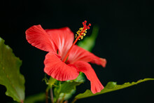 Red Hibiscus Flower On A Black Background. Soft Focus. Close-up