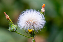 Thistledown Seeds On A Blurred Background