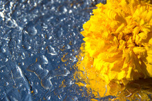 Yellow African Marigolds , Tagetes Erecta, On A Silver Background With Water Drops.