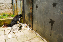 Two Female Husky Breed Dogs Calmly And Patiently Waiting For Owner To By Gates In Caucasus
