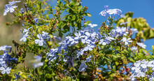 Blooming Plumbago Auriculata Or Cape Leadwort Plant, Blue Sky Background