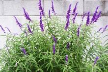 Amethyst Sage Flowers. Lamiaceae Perennial Herb. The Flowering Season Is From September To November.