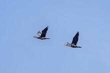 Zwei Fliegende Kormorane Im Blauen Himmel