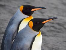 King Penguins Pair