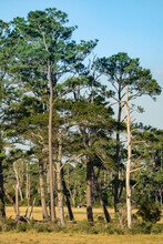 Grouping Of Tall Skinny Conifer Pine Evergreen Trees In The Middle Of A Swamp Grassland Environment Provide Sanctuary For Seasonal Nesting Migratory Birds As Well As Local Wildlife Such Wood Insects