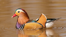 A Colourful Mandarin Duck Resting On The Water