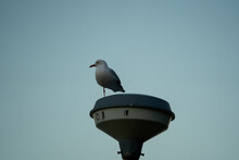 Seagull On A Pole In The Evening