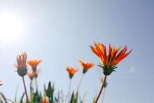 Field Of Vibrant Yellow And Orange Gazania Flowers Growing Wild In Australia