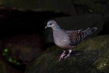 Turtle Dove On The Rock