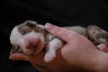 Australian Shepherd Sleeps In Womens Palms On Neutral Black Minimalist Background. One Thoroughbred Newborn Dog. Hold Newborn Puppy Aussie Red Merle In Hands.