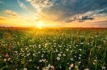 Beautiful Summer Sunset Over Fields With White Camomile Flowers