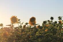 Sonnenblumen Im Feld #03