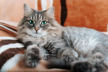 Portrait Of Fluffy Gray Green-eyed Cat Looking At Camera, Lying On Sofa Indoors. Beautiful Domestic Cat Of Siberian Breed