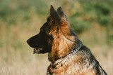 Fototapeta Zwierzęta - pies rasy owczarka niemieckiego siedzący pośród traw