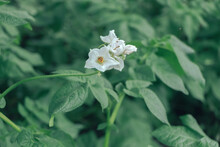 Beautiful Flowering Potato And Leaf. Close Up Of A Bush Of Green Potatoes . Natural Background, Large Bush.
