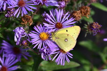 Yellow Clouded Sulphur Butterfly On Purple Aster Flowers