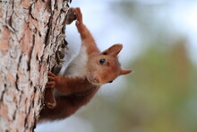 Red Squirrel Clinging To The Trunk Of A Pine Looking Directly At The Camera