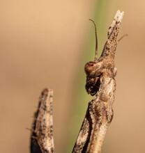 L'Empuse Commune Est Un Insecte De La Famille Des Empusidae Appartenant à L'ordre Des Mantodea. Ici Sa Tête Vue De Dos.
