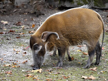 An Adult Male Red River Hog, Potamochoerus Porcus Porcus, Looking For Food On The Ground.