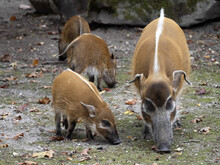 Red River Hog, Potamochoerus Porcus Porcus, Mother Teaches Piglets How To Look For Food