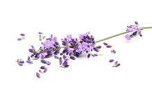 Fresh Lavender With Scattered Purple Flower Isolated On White Background
