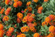 Orange Lantana Or Shrub Verbena