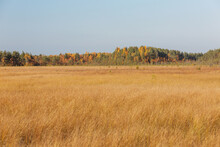 Splendid Autumn Yellow Grass Field With The Colorful Pine Forest At The Horizon.