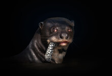 Close Up Of A Giant Otter Eating A Fish Against Black Background