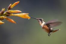 Purple-throated Woodstar In-flight Foraging On An Orange Tropical Flower