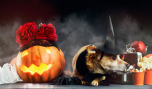 Charming Little Red Dog Dressed  Witch Costume Surrounded By Halloween Head Jack Lantern Squash Pumpkin , Spiders And Candy Bowl With Candies In Fog