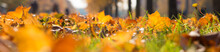 Panoramic Background With Fallen Autumn Maple Leaves Drenched In The Sun