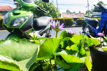 Blue Lotus (Nymphaea Caerulea) Actually It's Waterlilly. Water Lilies And Lotuses Of Thailand. Symbol Of Buddhism (108 Auspicious Signs In Footsteps Of Buddha). King Of Blues Variety In Bangkok