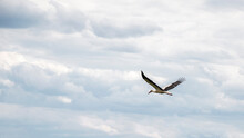 Stork Among The Clouds