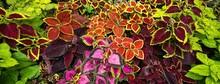 Close Up Of Colorful Coleus Scutellarioides Leaves