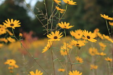 Yellow Wildflowers In A Field In Autumn