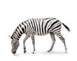 Burchell's zebra isolated on white