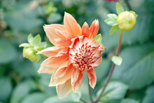 Beautiful Brown Dahlia Flower In The Garden With Deep Green Background
