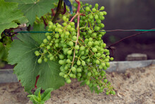 Green Bunch Of Unripe Grapes In Garden, Ready For Harvest. Small Berries Full Of Vitamins. Future White Wine. Fresh Air On Summer Day.