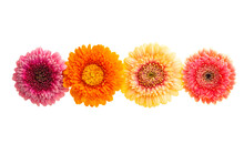 Gerbera Flowers Isolated