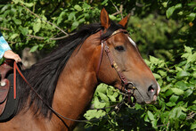 A Face Portrait Of A Grace Red Quarter Horse, On Nature Background.
