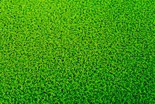 Duckweed, Natural Green Duckweed On The Water