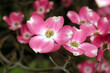 canvas print picture - Amerikanischer Blumen-Hartriegel