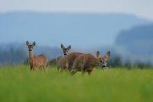 Wildlife Scene With A Roe Deer Family. Roe With Two Fawns. Doe With Two Cute Fawns Standing In The Grass. Capreolus Capreolus.