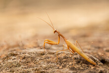 Praying Mantis On The Ground, Camouflaged With The Surroundings