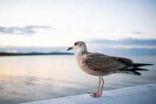 Side View Of Seagull Standing On Pier By Sea At Sunset.