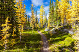 Fototapeta Kawa jest smaczna - Scenic Hiking Trail in the woods with Yellow Larches Trees and Canadian Rocky Mountains in Background. Sunny Fall Day. Located in Lake O'Hara, Yoho National Park, British Columbia, Canada.