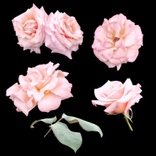 Pink Roses And Leaf Isolated On Black Background.  Can Be Used For Invitations, Greeting, Wedding Card.