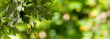 Horizontal Image Of Oak Tree With Acorns