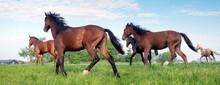 Five Young Horses Run In Fresh Green Grass Of Meadow Near Utrecht In Holland